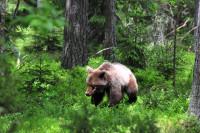 Studie på vilda brunbjörnar ger insikter om människans tarmflora