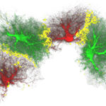 New insight into the process of generation of new neurons in the adult brain